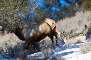 wolf killing elk